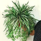 Artificial Plastic Fake Chlorophytum Orchid Spider Plant Grass Home/garden Decor