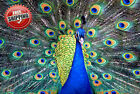 "Animal Bird Peacock Poster Print Wall Art Premium Modern Picture Photo 20"" x 16"""