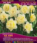 10+ DAFFODIL  BULBS*  Ice  King  -DOUBLE* Planting  NOW - BULK  LISTING