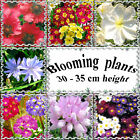 Perennial and annual blooming plants, 30 - 35 cm or 12