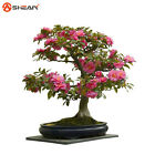 AA 2 PC Camellia Seeds Potted Flowers Seeds,Balcony Potted