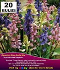 Cottage Garden -Spanish BLUE BELL  Bulbs Mixed Colours - MULTI  LISTING