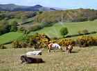 Dartmoor Ponies Devon Art Photo Canvas (UK)