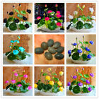 5 lotus seed hydroponic plants aquatic plants flower seeds pot water lily seeds