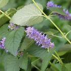 Seeds for Anise Hyssop - (Agastache foeniculum)