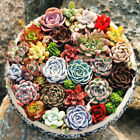 Beauty Succulents Seeds Easy To Grow Potted Flower Seeds 100 Pcs/Lot