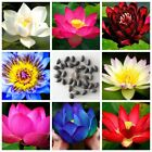 Water Lily Bowl Lotus Seeds Aquatic Plants 10 Particles Flower Seed For Garden