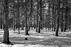 Black White Photo Grove Red Pine Snow Carson Forest New Mexico winter trees nm