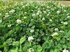 Ultra Premium Legacy White Clover Seed Large Leaf Tall Growth Coated 5LB Bag NEW