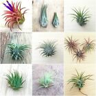 HUGE RANGE of Air plant - ONE SHIPPING PRICE - tillandsia airplant - no soil