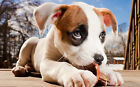 PitBull puppy canvas Picture, Original or WITH GLITTER - DIAMOND DUST! Wall art.