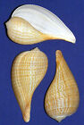"Внешний вид - Gracilis Fig Seashell ~ Ficus gracilis 3"" ~Shell Craft Supply Select 2/4/6 Pcs."