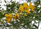 Buttercup Tree Cassia corymbosa Seeds Drought Tolerant Dripping Wax Looking Pods