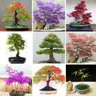 50PCS Foliage Bonsai Maple Seeds Green And Purple Color Red Home