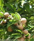 Manilkara zapota Chicle Tropical Tree Seeds! Chewing Gum! Sapodilla New Harvest