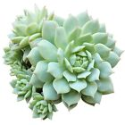 Echeveria Painted Lady Pink Derenbergii Succulent (2'' or 4'' or 6'')