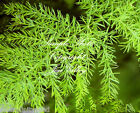 Asparagus racemosus Shatavari Wild Indian Asparagus Seeds Soft Fern  Fronds