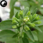 Buy Stevia Seeds Plant Chinese Sugar Herb Stevia For Tian Ye Ju