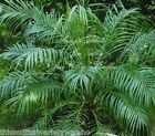 Phoenix roebelinii Pygmy or Baby Date Palm Seeds Nice Leaves Perfect Houseplant