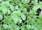 Italian Flat Leaf Parsley Seed! Garden Seeds Non GMO 80 Day Aromatic Flavor