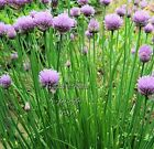 Chive Seeds Non GMO Aromatic Perennial Herb Gardening Chives