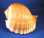 Tonna Cepa Oleria Shell Tun Shell Hermit Crab Beach Nautical Decor 4-5""