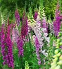 Foxglove pink and white flowering seeds.1g Traditional cottage garden flower.