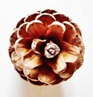 """50 RED PINE STAND UP CONES. (No grays)  2 - 2.5"""" tall. XMAS-WEDDINGS-WREATHS"""