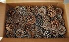PINE CONES 299 NORWAY (RED PINE TREE) - 1 - 2.5 INCHES TALL GREAT CRAFTING ITEM)