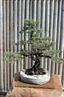 Pinus resinosa Red Pine Tree Seeds Evergreen Soft Needles Standard or Bonsai