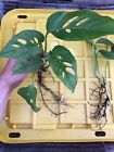 Monstera Adansonii Swiss Cheese Philodendron Plants Fully Rooted In 3 Sizes!