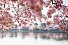 Washington DC Cherry Blossoms over Tidal Basin  (Prints, Signs, Canvas, More)