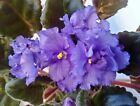 African Violet *standard/large* Unrooted Leaf Pair 2 Leaves Many To Choose From