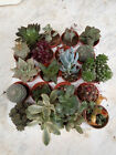 Succulents And Cactus Trays Assorted to Choose Of 8 To 20 Plants With Root