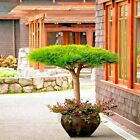 10 Pack~JAPANESE Red Pine (Pinus densiflora) Tree Seeds Evergreen Bonsai