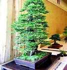 California Coast Redwood Tree Seeds Sequoia Bonsai Tallest In The World!