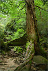Poster / Leinwandbild Old Japanese ceder tree in a rainforest, Ya... - I. Naoi