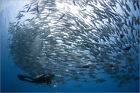 Poster / Leinwandbild A diver looks on at schooling Jacks at Mar... - S. Jones