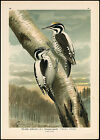 Antique Bird Print-THREETOED WOODPECKER-DREIZEHENSPECHT-Plate IV.34-Naumann-1896
