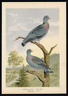 Antique Bird Print-STOCK DOVE-HOHLTAUBE-Plate VI.3-Naumann-1896