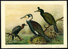 Antique Bird Print-GREAT-PYGMY-CORMORANT-EUROPEAN SHAG--Plate XI.5-Naumann-1896