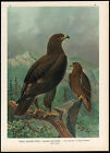 Antique Bird Print-LARGE SPOTTED EAGLE-GROSSER SCHREIADLER-Pl. V.45-Naumann-1896