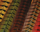 Ringneck Pheas. Tail Feathers