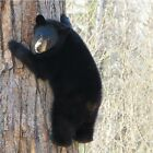 BLACK BEAR CUB UP A TREE COASTERS U PICK SET SIZE