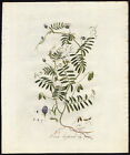 Antique Print-HAIRY TARE-TINY VETCH-VICIA HIRSUTA-49-Flora Batava-Sepp-1800
