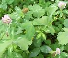 10 lb CLOVER SEED MIX 4 Varieties Turkey Deer Plot Seeds Clover Seeds Pet Rabbit