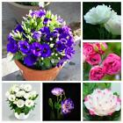 100pcs ballon fleur bellflower Eustoma / Lisianthus graines vivace