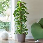 Indoor Devil's Ivy House plant Aureum on Moss Pole Scindapsus By Plant Theory