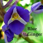 3 LIVE CANES Gorgeous SAPPHIRE BLUE GINGER Hawaii PLANT
