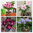 Genuine Desert Rose Plantas rare Adenium Obesum flower Plants 4pcs Flower Bonsai